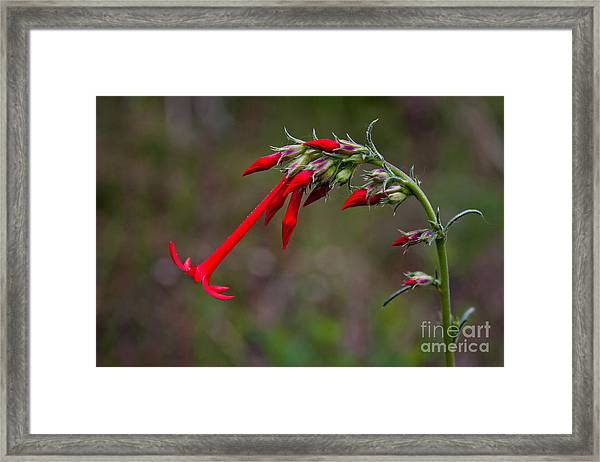 Fairy Trumpets Framed Print