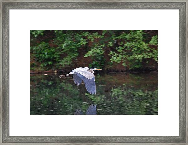Great Blue Heron Flying Low Framed Print