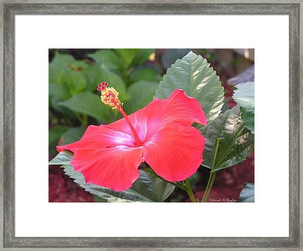 Hibiscus Flower Framed Print