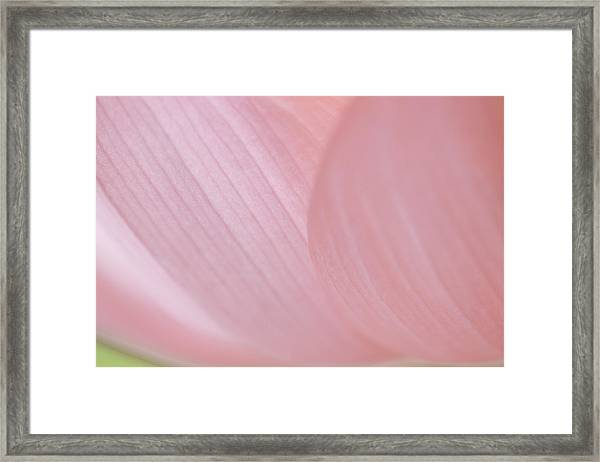 Nelumbo 'mrs. Perry Slocum' Framed Print
