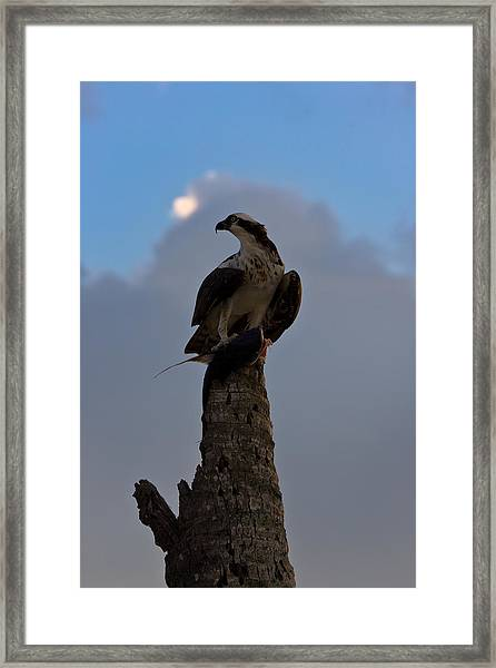 Osprey With Catch Framed Print