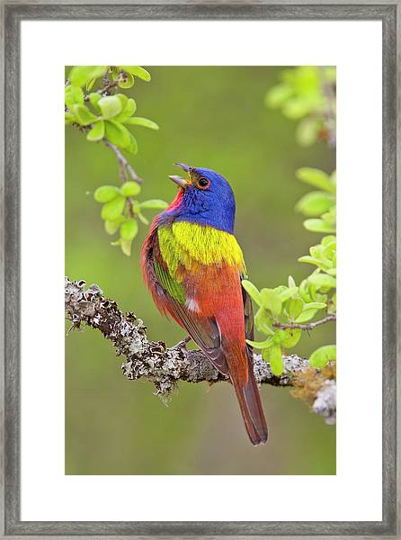 Painted Bunting Singing 1 Framed Print