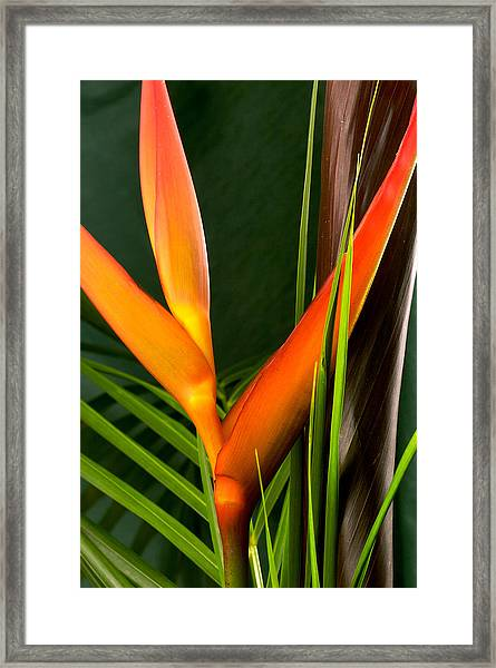 Photograph Of A Parrot Flower Heliconia Framed Print