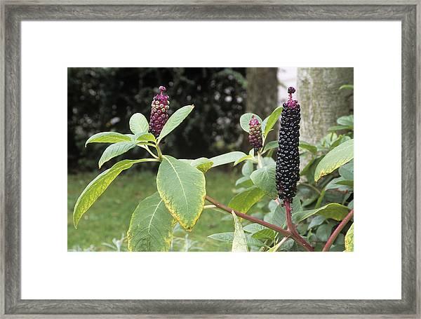 Pokeweed (phytolacca Americana) Framed Print