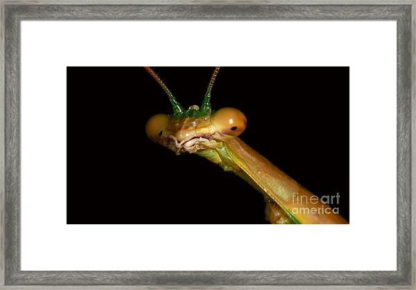 Praying Mantis Portrait Framed Print