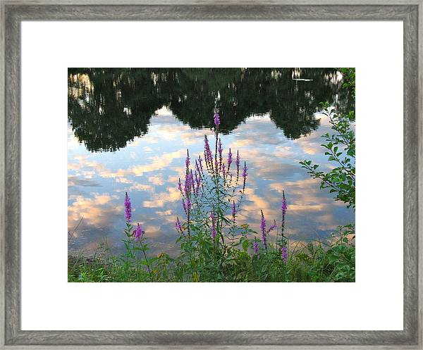 Purple Loosestrife Framed Print