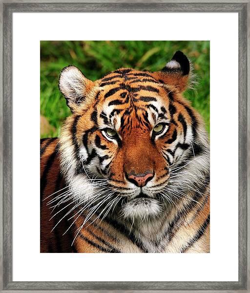 Sumatran Tiger Portrait Framed Print