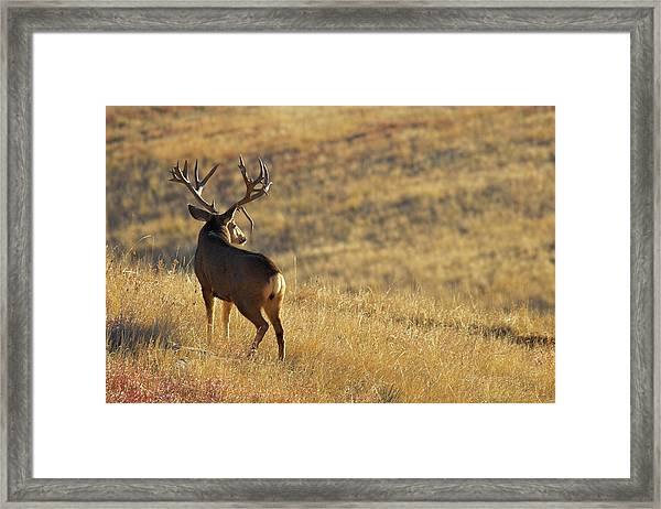 Sunrise Mule Deer Framed Print