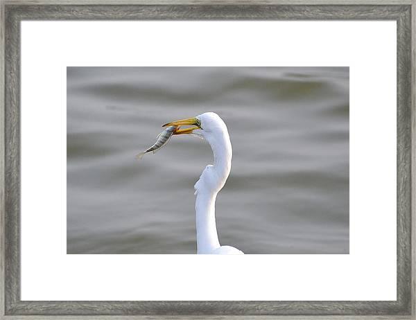 White Heron Framed Print