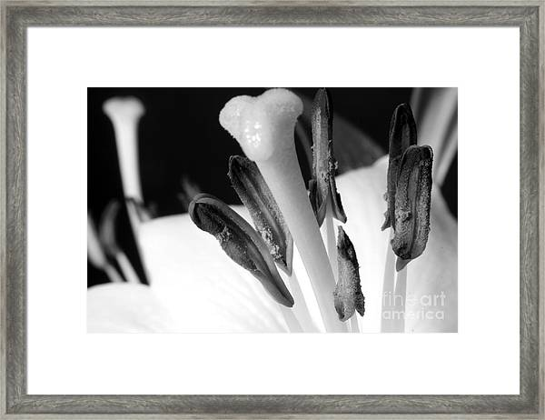 White Lilly On Black Framed Print