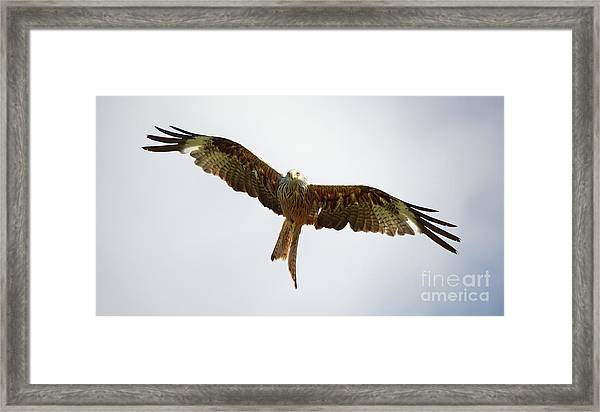 Red Kite In Flight Framed Print