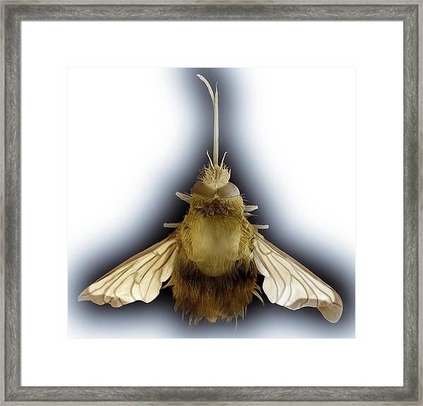 Bee Hawk Moth, Sem Framed Print
