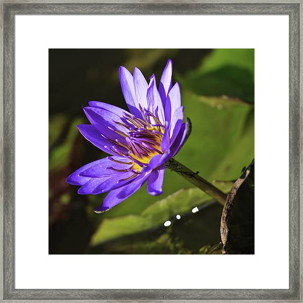 Nymphaea 'panama Pacific' Framed Print