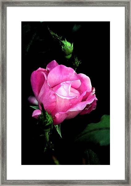 Regal Rose Framed Print