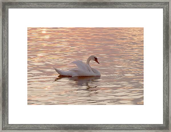 Swan In The Lake Framed Print