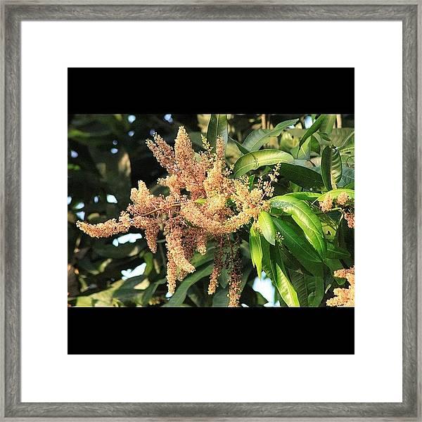أزهار شجرة المانجو، Framed Print