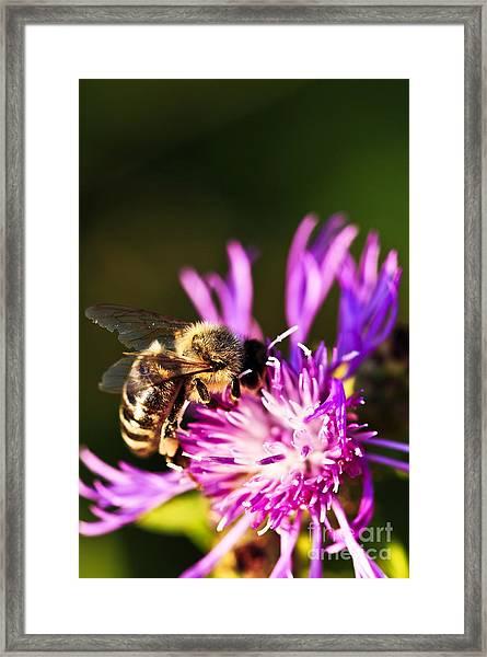 Honey Bee Framed Print