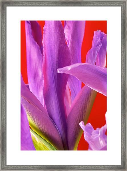 Photograph Of A Dutch Iris Framed Print