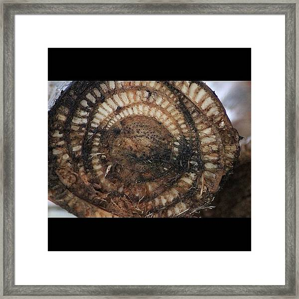 A Cross Section View Of A Banana Log Framed Print