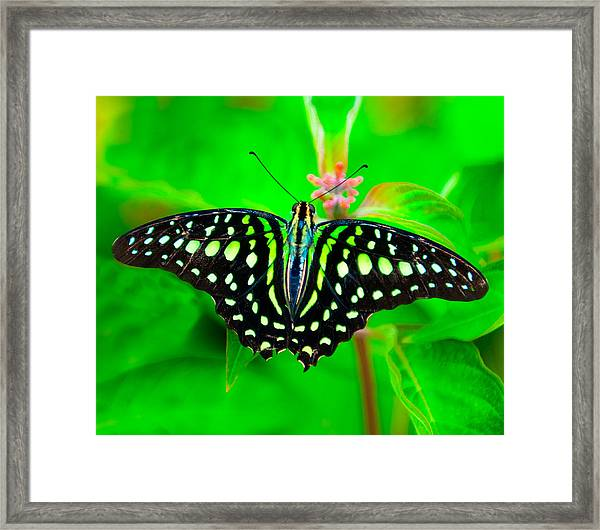 A Green Butterfly Framed Print