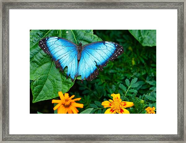 A Large Blue Butterfly Framed Print