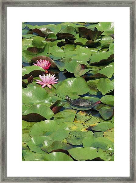 A Painted Turtle Rests On A Water Lily Framed Print