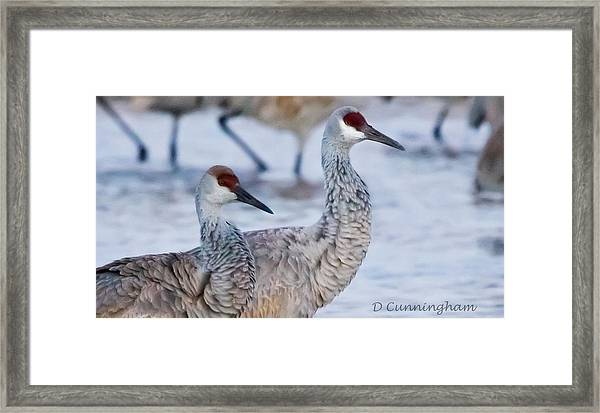 A Pair Of Sandhill Cranes Framed Print