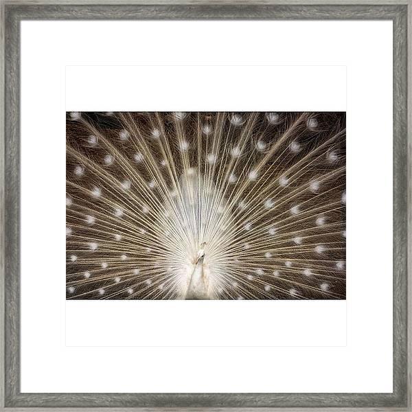 A Rare White Peacock In Full Display Framed Print