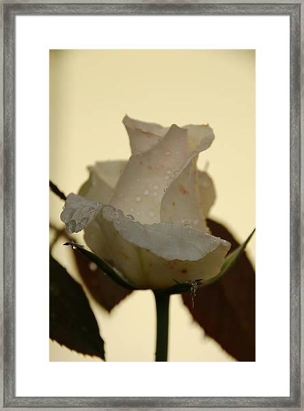 A Single White Rose Framed Print
