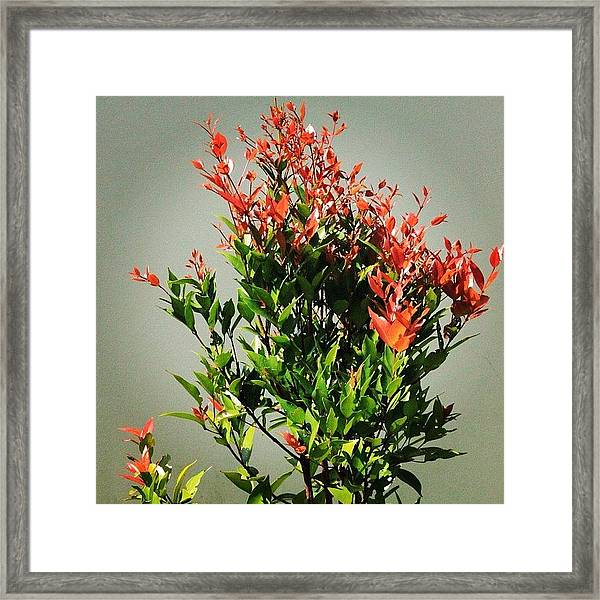 A Tree That Gives Red New Leaves When Framed Print