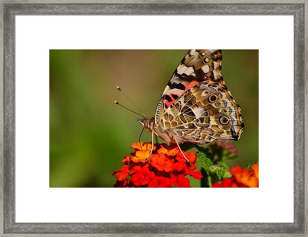 A Wing Of Beauty Framed Print