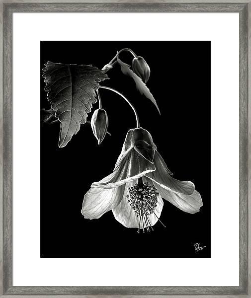 Abutilon In Black And White Framed Print