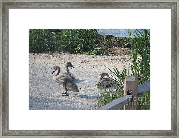 Adorable Ducklings Framed Print by Scenesational Photos