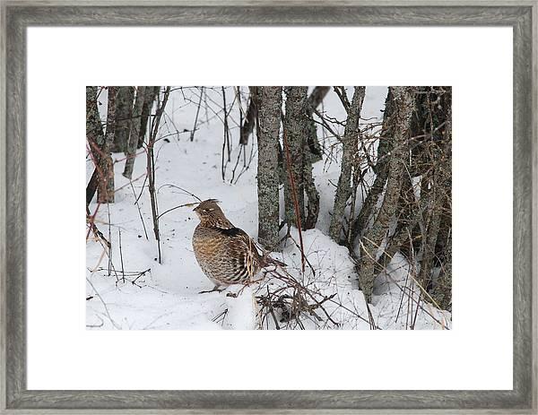 Alert Grouse  Framed Print