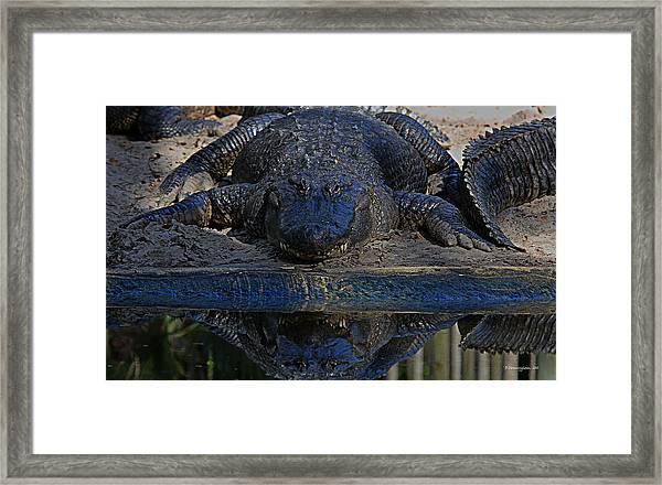 Alligator And Reflection Framed Print