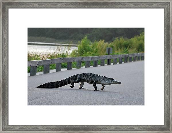 Alligator On A Food Hunt Framed Print