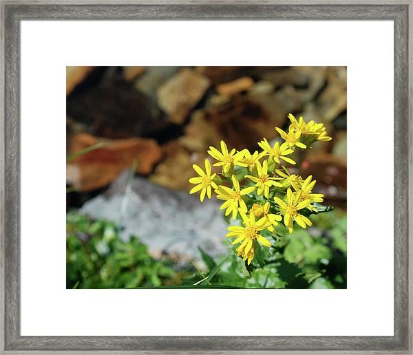 Alpine Arnica Framed Print