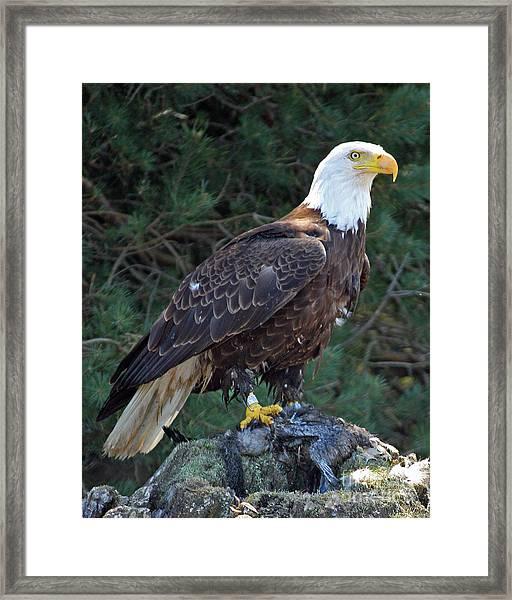 American Bald Eagle Framed Print by Kathy Eastmond