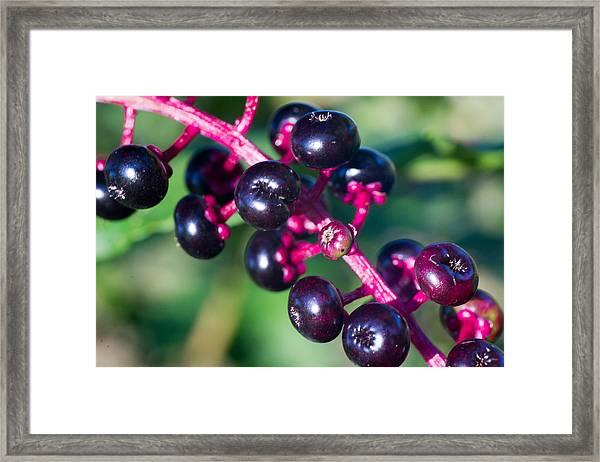 American Pokeweed Berries Framed Print