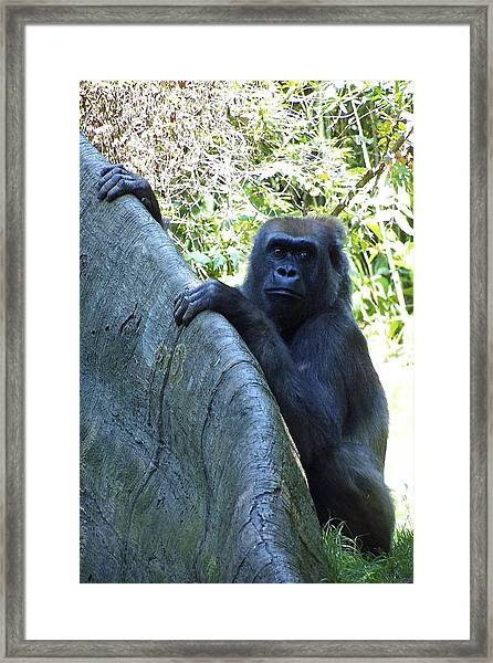 Framed Print featuring the photograph Ape by Ralph Jones