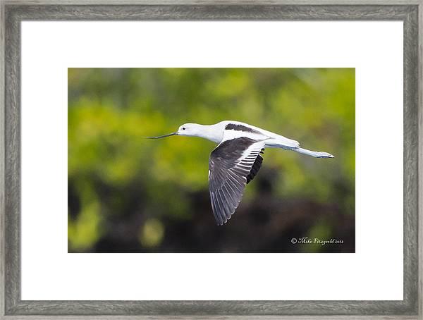 Avocet Flight Framed Print