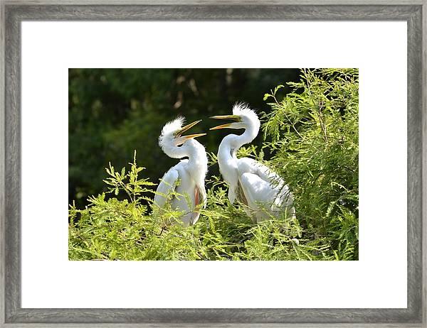 Baby Egrets Chattering Framed Print