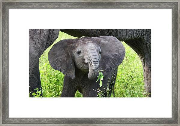 Baby Elephant With A Twig Framed Print