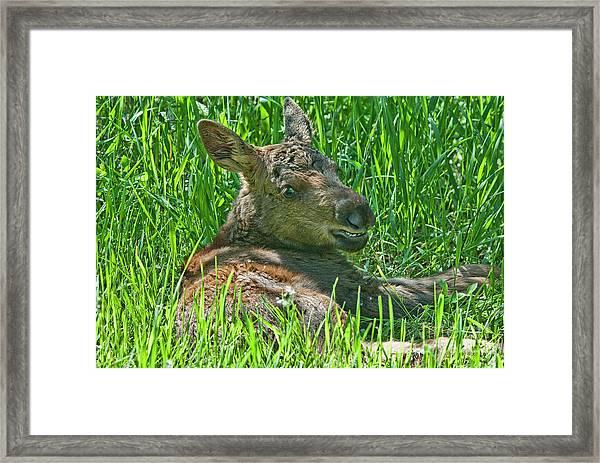 Baby Moose Framed Print