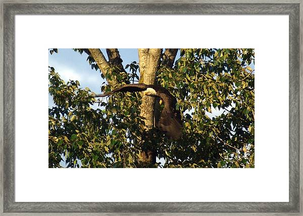 Bald Eagle Decending From Nest Framed Print