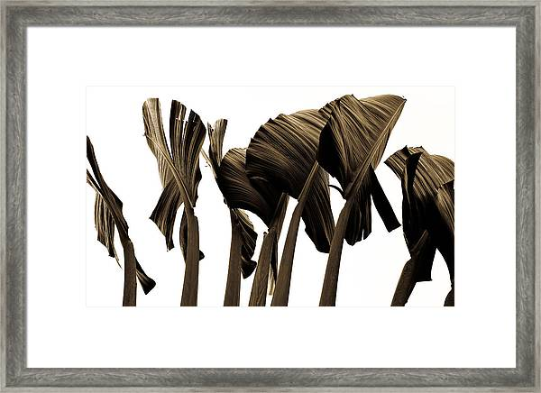 Banana Tree Leafs Framed Print