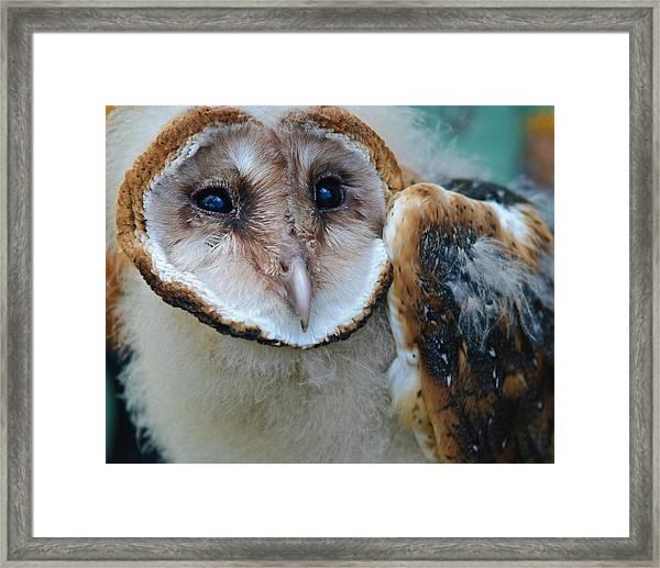 Barn Owlet Framed Print