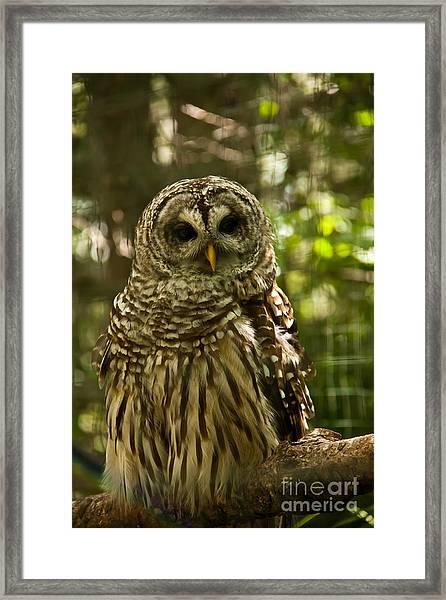 Barred Owl Framed Print by Rachel Duchesne
