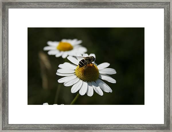 Bee On A Daisy Framed Print