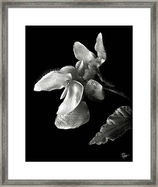 Begonia In Black And White Framed Print